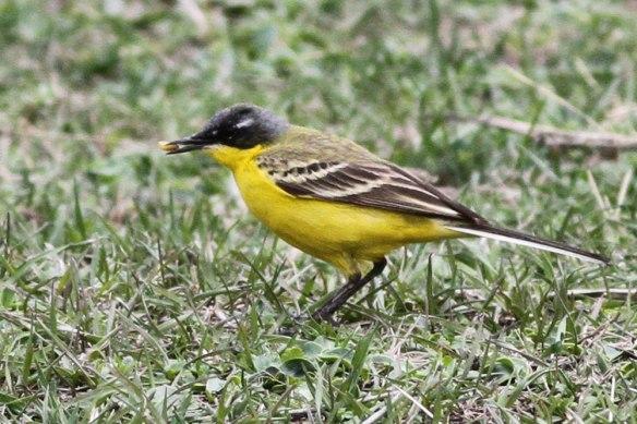 Yellow-Wagtail-thunbergi-3