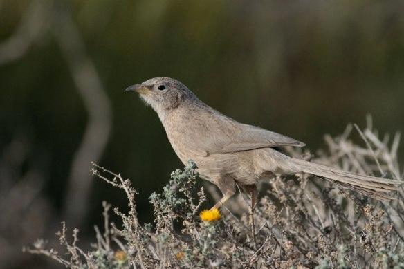 Arabian-Babbler