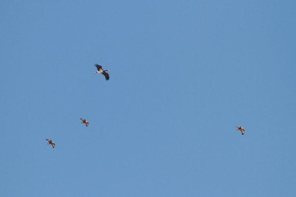 Black-Stork-&-Steppe-Buzzards