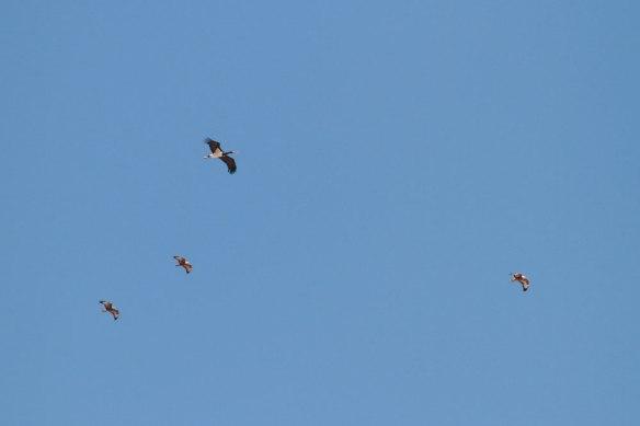 Black-Stork-&-Steppe-Buzzards
