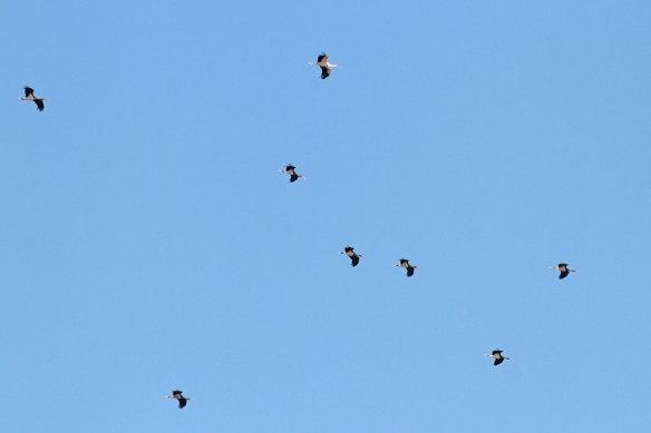Black-&-white-storks