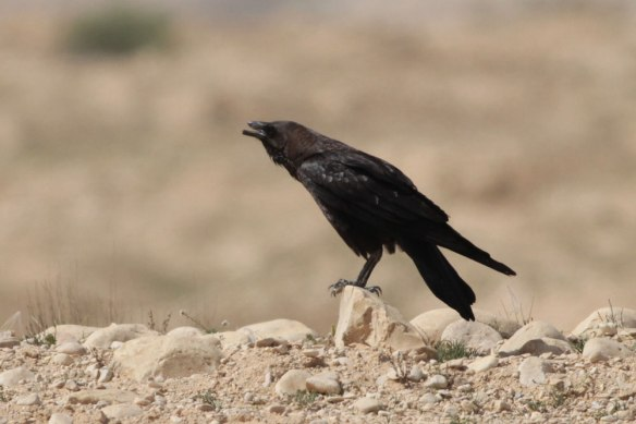 Brown-necked-Raven