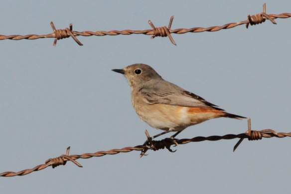 Common-Redstart-female