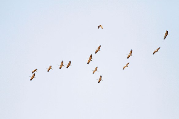 Cranes-and-Short-toed-Eagle