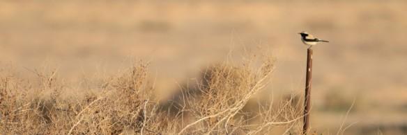cropped-desert-wheatear-1.jpg