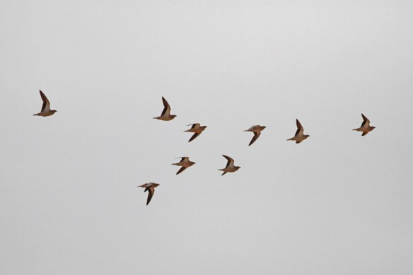 Crowned-Sandgrouse