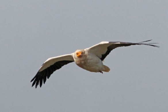 Egyptian-Vulture-3