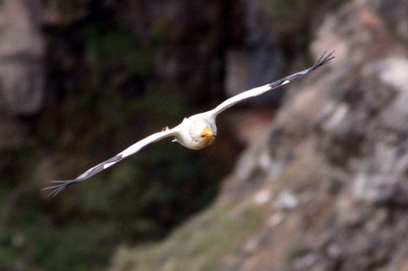 Egyptian-Vulture-4