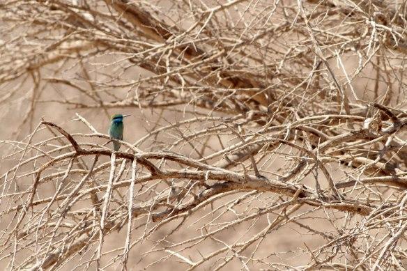 Little-Green-Bee-eater