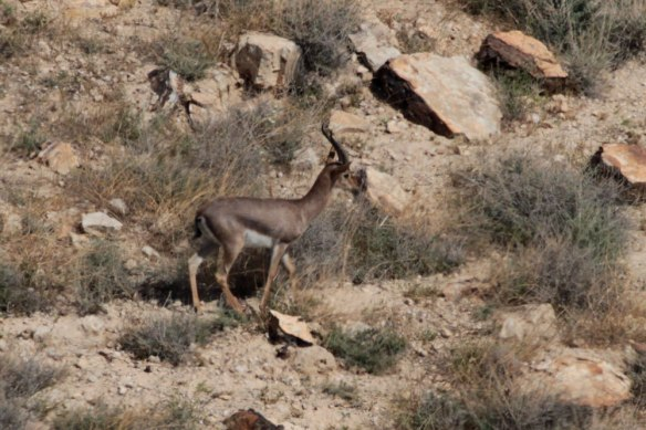 Mountain-Gazelle