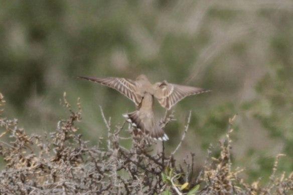 Pale-Rock-Sparrow-2