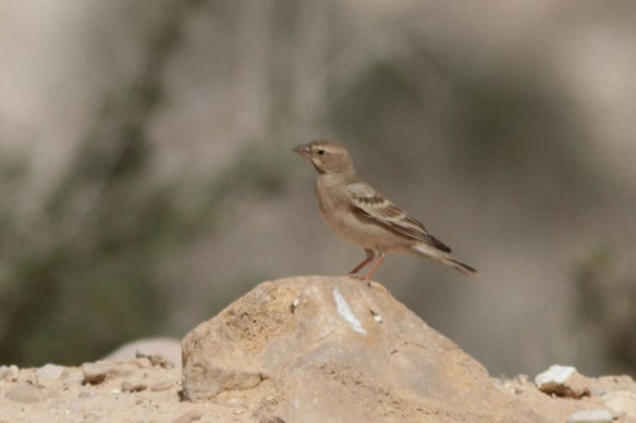 Pale-Rock-Sparrow-4