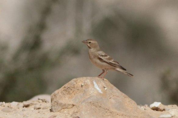 Pale-Rock-Sparrow-4