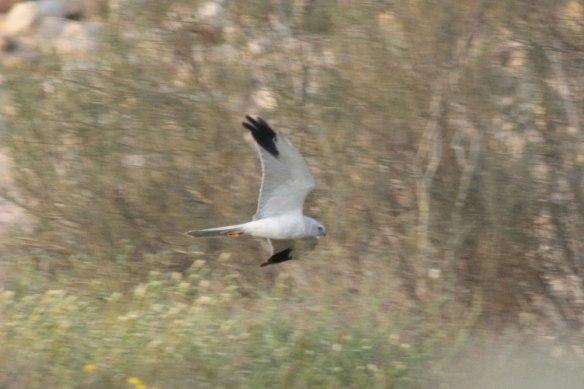 Pallid-Harrier-1