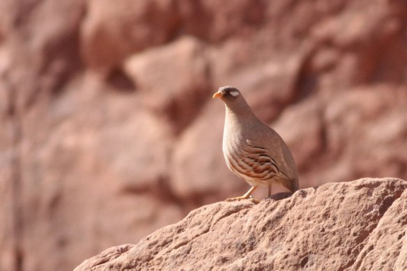 Sand-Partridge-2