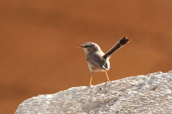 Scrub-Warbler-1