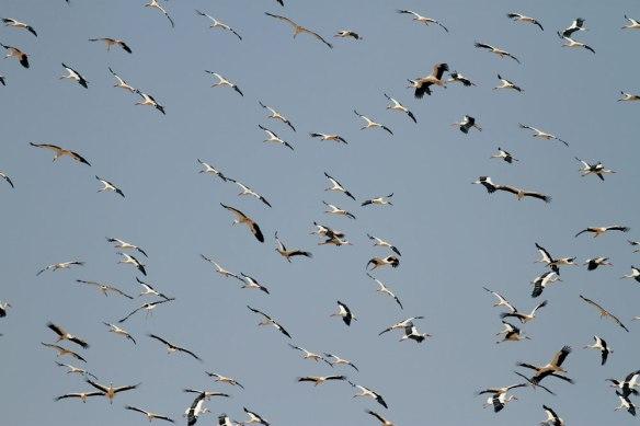 White-storks-1