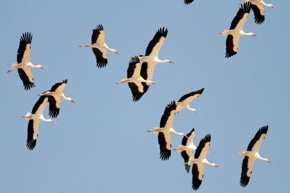 White-storks-2