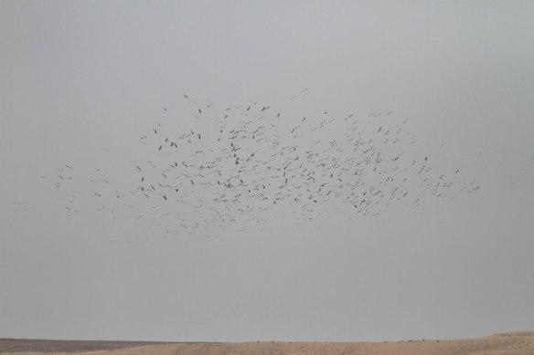 White-storks-4