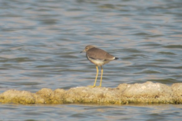 White-tailed-Plover
