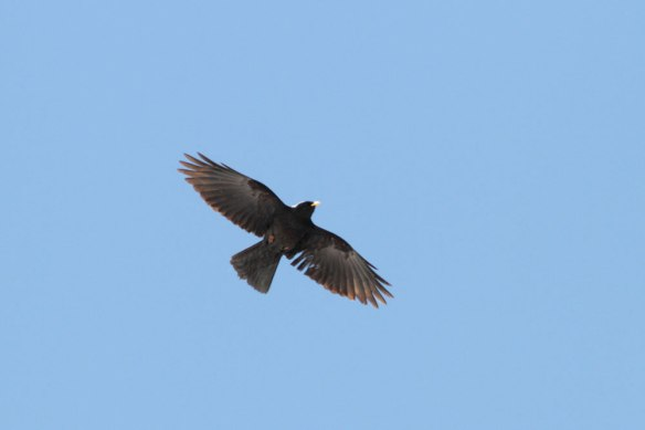 Alpine-Chough-(64)