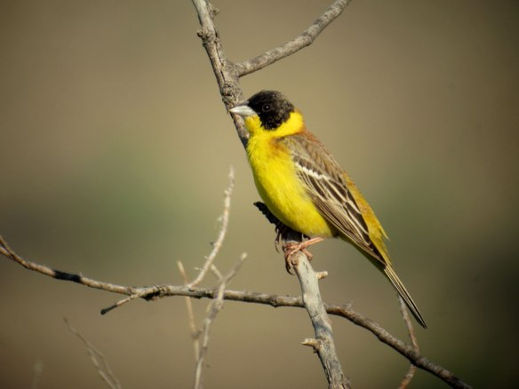 Black-headed-Bunting-(99)