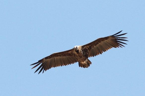 Black-Vulture-(57)