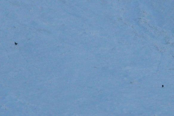 Caucasian-Snowcock-&-Caucasian-Black-Grouse-(1)