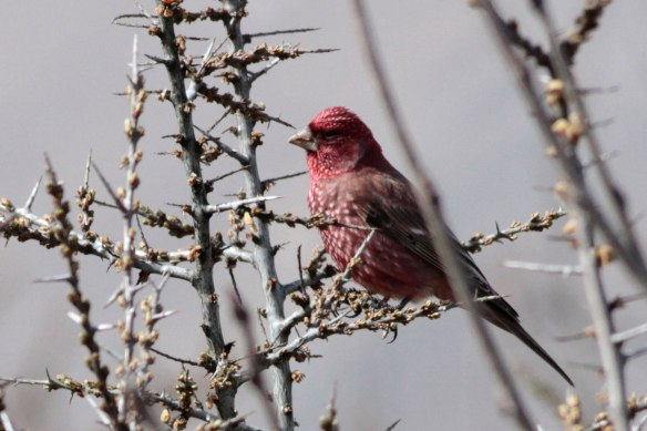 Great-Rosefinch-(138)