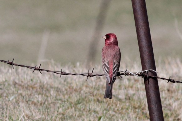 Great-Rosefinch-(54)