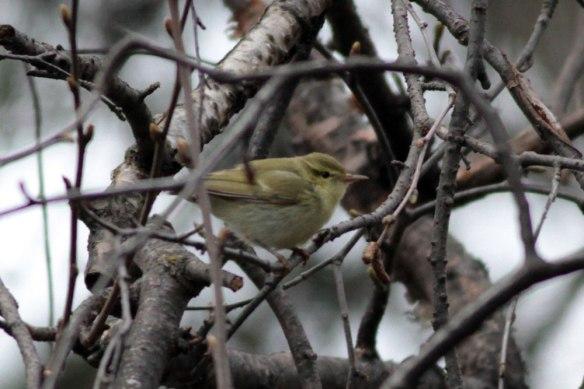 Green-Warbler-(61)