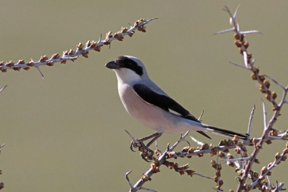 Lesser-Grey-Shrike-(8)