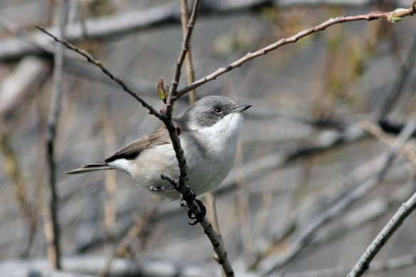 Lesser-Whitethroat-(34)