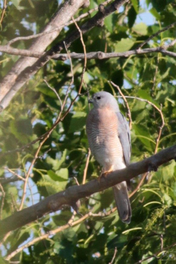 Levant-Sparrowhawk-(5)