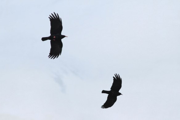 Red-billed-Chough-(5)