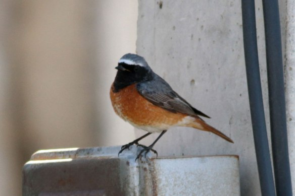 Samamisicus-Redstart-1st-sum-male-(2)