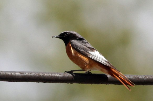 Samamisicus-Redstart-ad-male-(30)