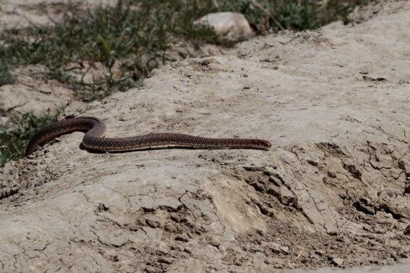 Snake-at-Chachuna-(9)
