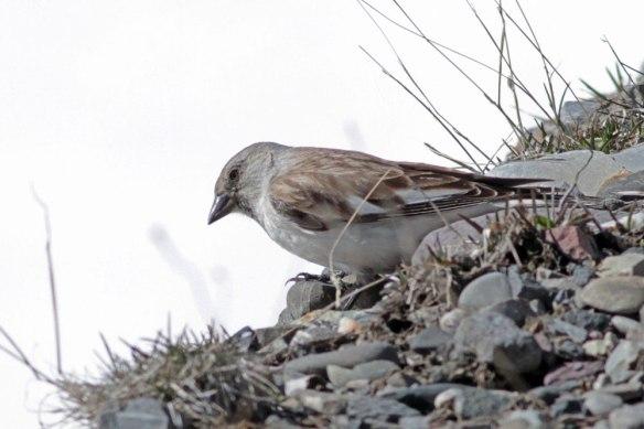 Snowfinch-(88)