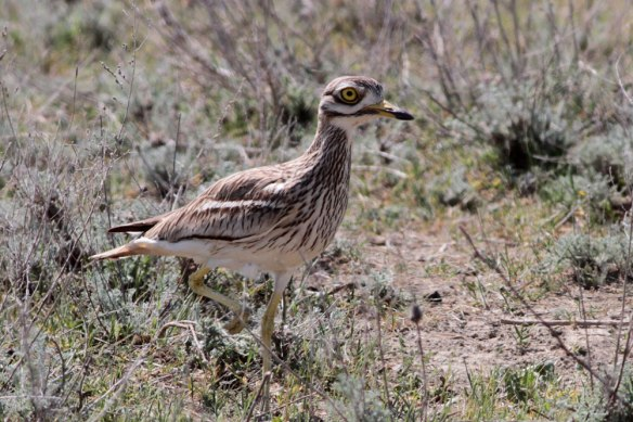 Stone-Curlew-(40)