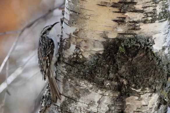 Treecreeper-(49)