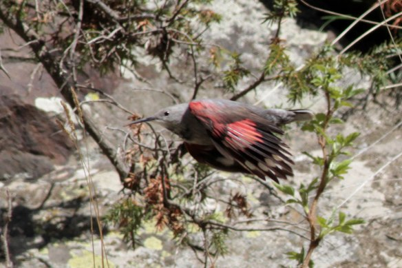 Wallcreeper-(252)