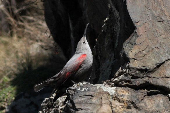 Wallcreeper-(399)