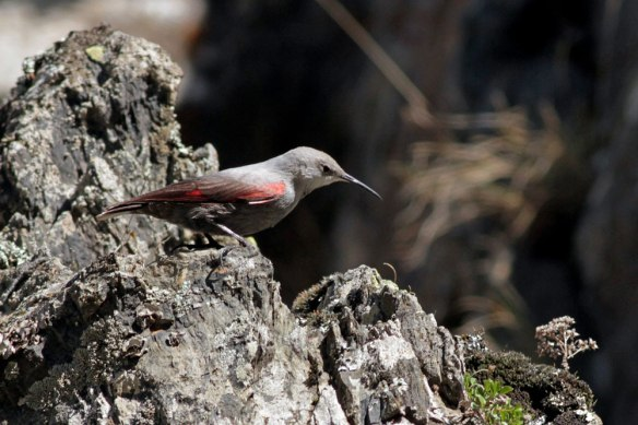 Wallcreeper-(642)
