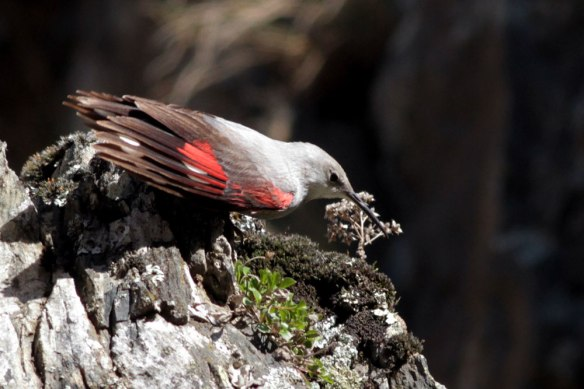 Wallcreeper-(656)