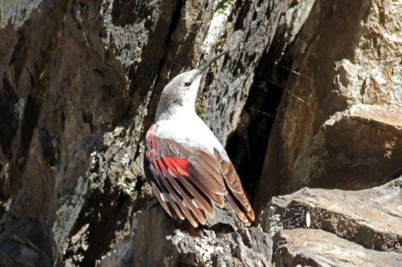 Wallcreeper-(755)