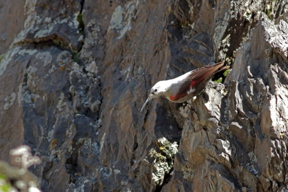 Wallcreeper-(764)
