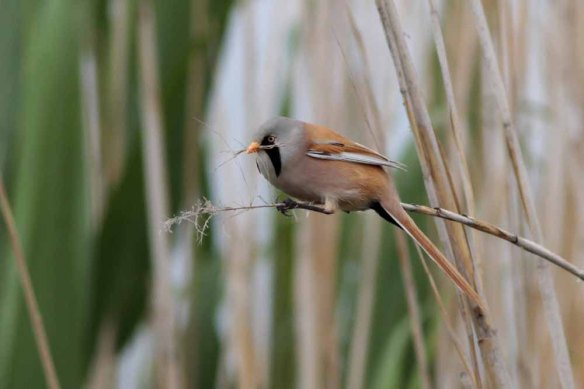 Bearded Tit (66)