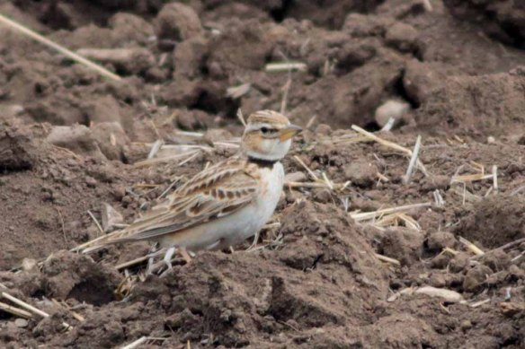 Bimaculated Lark (19)
