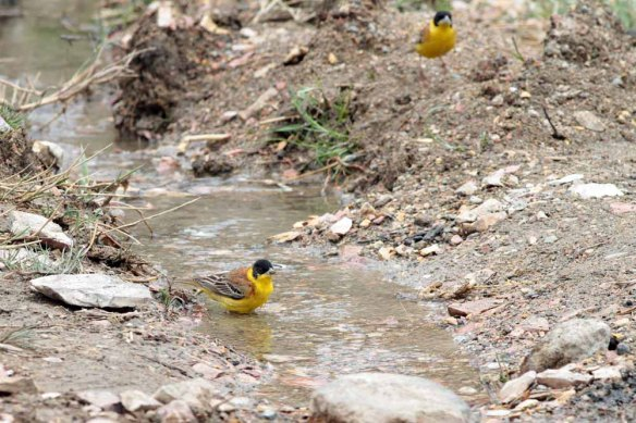 Black-headed Bunting (42)